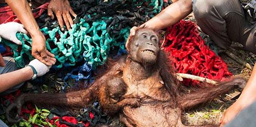 Un Orango con il suo piccolo in gravi condizioni dopo un incendio - Indonesia 2015