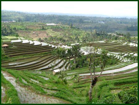 Risaie Bali Jatiluwih